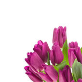 Purple tulips isolated on a white background — Foto de Stock
