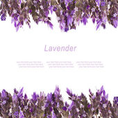 Fresh flowers of lavender — Stock Photo