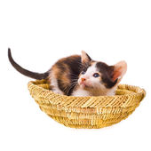 Small tri-color calico kitten — Stock Photo