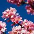 Spring almond tree pink flowers — Stock Photo