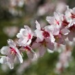 Almond tree pink flowers close-up with branch outdoor — Stock Photo