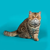Exotic shorthair cat color brawn tabby — Stock Photo