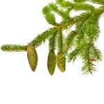 ramas de abeto verde con piñas frescas aisladas sobre fondo blanco — Foto de Stock