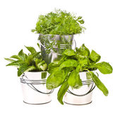 Fresh herbs - basil, dill and mint for cooking in tin buckets overturned isolated on white background — Stock Photo
