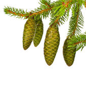 Green fir branches with fresh pine cones isolated on white background — Foto Stock