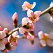 Spring almond tree — Stock Photo
