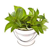 Mint for cooking in tin buckets overturned — Stock Photo