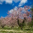 Almond orchard in blossom, Alicante, Spain — Stock Photo