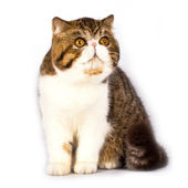 Exotic shorthair cat color brown tabby — Stock Photo