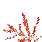Christmas motif plant aquifolium — Stock Photo