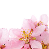 Almond tree pink flowers — Stock Photo
