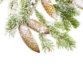Green fir branches with fresh pine cones — Стоковое фото