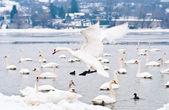 Beautiful white swan — Foto de Stock