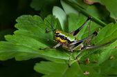 Grasshopper — ストック写真