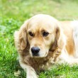 Dog, Golden Retriever — Stock Photo