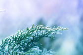 Ice covered branch of pine tree — Stok fotoğraf