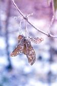 Winter Frozen Seed — Fotografia Stock