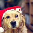 Stock Photo: Dog with Santas Claus hat