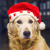 Dog with Santa Claus hat — Stock Photo