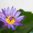 Lotus with yellow stamens and honeybee. — Stock Photo