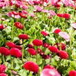 Foto Stock: Close-up red flower field.
