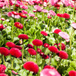 图库照片: Close-up red flower field.