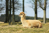 Alpaca lying on grass. — Stock Photo