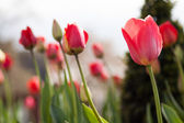 Red tulip blossom. — Stock Photo