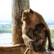Macaque monkey with its baby. — Stock Photo