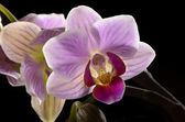 Purple Orchid, black background — Stok fotoğraf