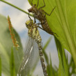 Dragonfly aeshna cyanea hatched — Stock Photo