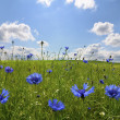 Meadow with corn flowers — Stock Photo