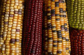 Different sorts of corn — Stock Photo