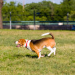 Stock Photo: Run Beagle Run!