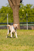 Dog Retrieving The Ball — Stock Photo