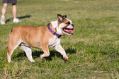 Bulldog Trotting Along — Foto de Stock