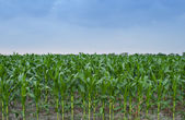 Corn Field On A Cloudy Day 3 — Stock Photo