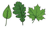 Vector green leaves - poplar, oak, maple — Stock Vector