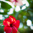 Hibiscus flower in garden. — Stock Photo