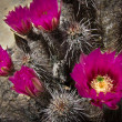 Cactus flowers, Red Rocks, Nevada. — Stock Photo