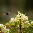 Stock Photo: Insects hover over flowers.