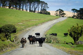 Cows near sand dunes of Ninety Mile Beach, New Zealand. — Stock Photo