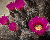 Cactus flowers, Red Rocks, Nevada. — 图库照片
