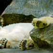 Captive polar bear holds rubbish in Bronx Zoo. — ストック写真