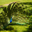 Stock Photo: Male peacock is courtship display at Bronx Zoo.