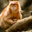 Captive Ebony Langur at Bronx Zoo. — Stock Photo #31579607