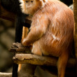 Captive Ebony Langur at Bronx Zoo. — Stock Photo