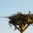 Osprey in nest with chicks. — Stock Photo