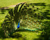 Male peacock is courtship display at Bronx Zoo. — Stock Photo