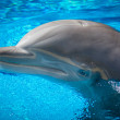 Bottlenose dolphin at Siegfried & Roy's Secret Garden, Las Vegas. — Stock Photo